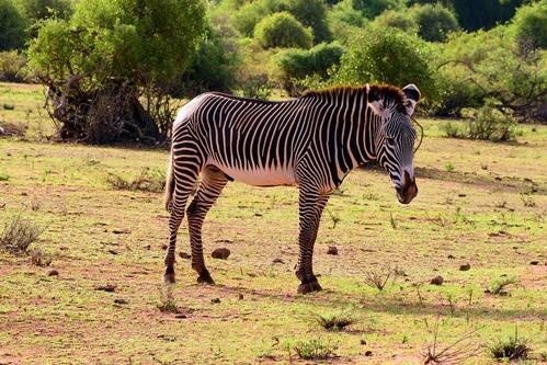 Grevys Zebra - Equus grevyi - Samburu National Park Kenya - D800 2017-10-26-002CE.jpg