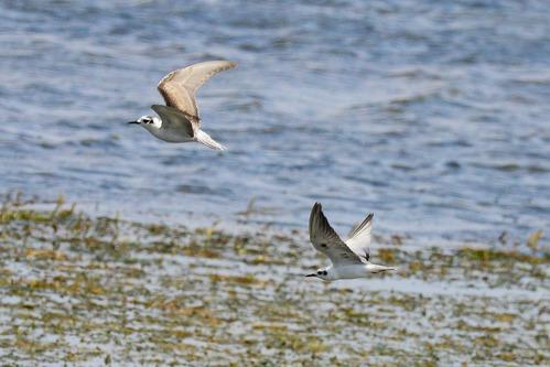 Gull-billed Tern - Gelochelidon nilotica - Amboseli NP Kenya D800 2017-11-17-743CE.jpg