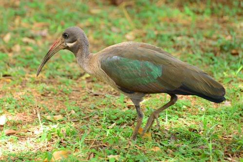 Hadada Ibis - Bostrychia hagedash - Aberedares NP Kenya - D800 2017-10-24-148CE.jpg