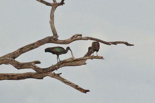 Hadada Ibis - Bostrychia hagedash - Tarengire NP Tanzania D2X 243 11-20-14CE.jpg