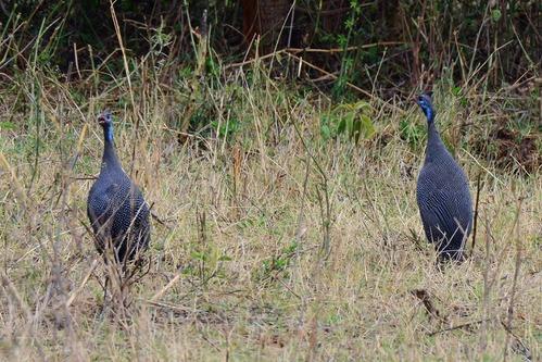 Helmeted Guineafowl - Numida meleagris - Ngorongoro NP Tanzania - D800 2017-11-11-153CE.jpg