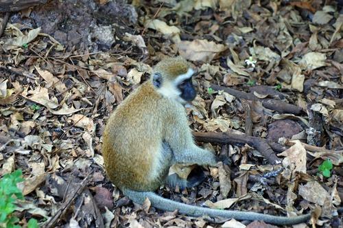 Hilgerts Vervet Monkey - Chlorocebus pygerythrus hilgerti - Lake Manyara - D2X 2017-11-12-030CE.jpg