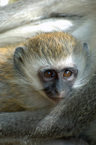Hilgerts Vervet Monkey - Chlorocebus pygerythrus hilgerti - Masai Mara NP - D2X 2017-11-02-137CE.jpg