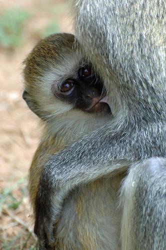 Hilgerts Vervet Monkey - Chlorocebus pygerythrus hilgerti - Masai Mara NP - D2X 2017-11-02-146CE.jpg