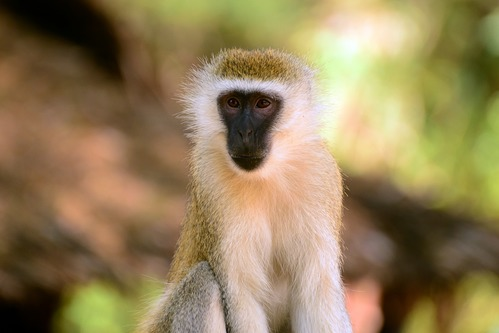 Hilgerts Vervet Monkey - Chlorocebus pygerythrus hilgerti - Samburu NP - D800 2017-10-24-137CE.jpg