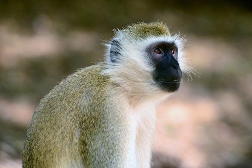 Hilgerts Vervet Monkey - Chlorocebus pygerythrus hilgerti - Samburu NP - D800 2017-10-24-144CE.jpg