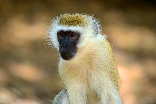 Hilgerts Vervet Monkey - Chlorocebus pygerythrus hilgerti - Samburu NP - D800 2017-10-24-147CE.jpg