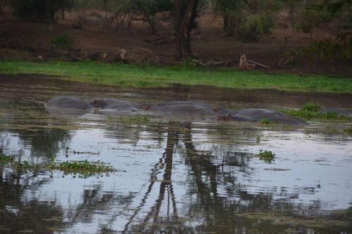 Hippopotamus - Hippopotamus amphibious - Tsavo NP Kenya D5200 011 11-13-14.jpg