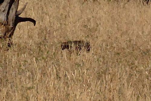 Honey Badger - Mellivora capensis - Tarengire D2X 043 11-22-14CE.jpg