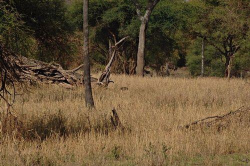 Honey Badger - Mellivora capensis - Tarengire D2X 043 11-22-14E.jpg