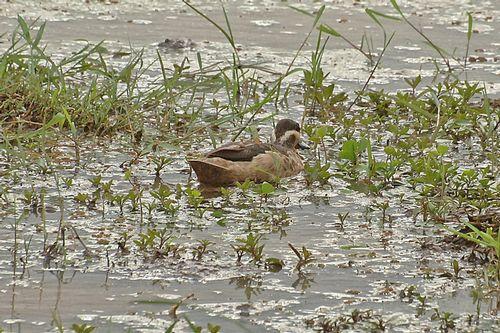 Hottentot Teal - Anas hottentota - Lake Manyara NP Tanzania D2X 031 11-13-14CE.jpg
