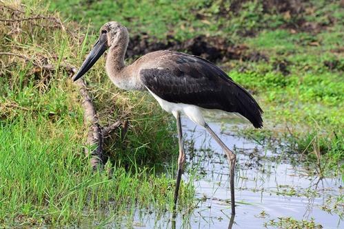Immature Saddle-billed Stork - Ephippiorhynchus senegalensis - Ngorongoro D8002017-11-11-582CE.jpg