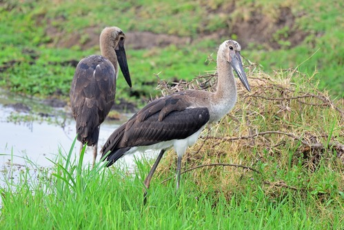 Immature Saddle-billed Stork - Ephippiorhynchus senegalensis - Ngorongoro D8002017-11-11-593CE.jpg