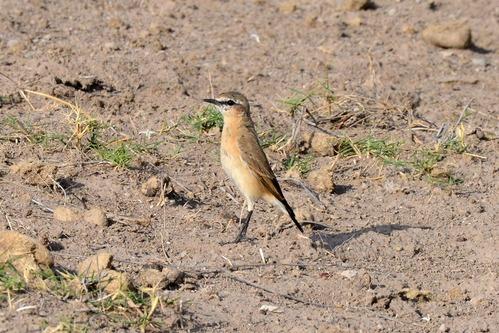 Isabelline Wheatear - Oenanthe isabellina - Amboseli NP Kenya D800 2017-11-17-085CE.jpg