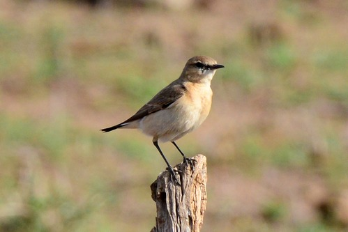 Isabelline Wheatear - Oenanthe isabellina - Amboseli NP Kenya D800 2017-11-17-187CE.jpg