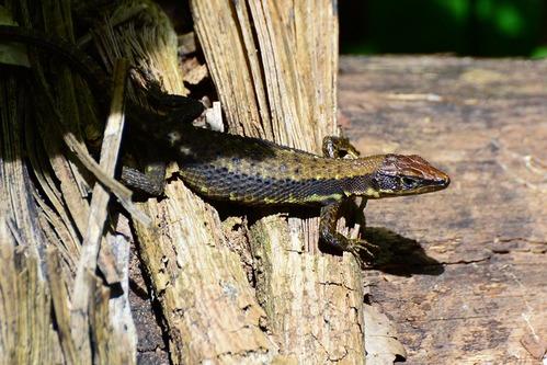 Jacksons Forest Lizard - Adolfus jacksoni - Kakamega NP Kenya - D800 2017-10-31-115CE.jpg