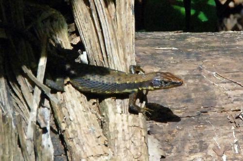 Jacksons Forest Lizard - Kakamega NP Kenya - D2X 2017-10-31-044CE.jpg