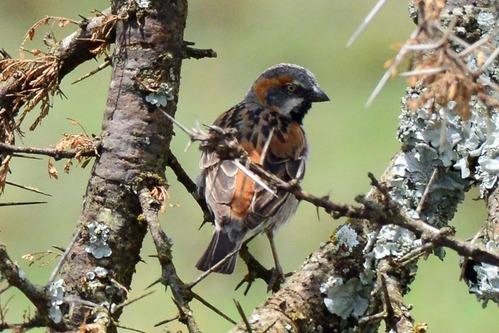 Kenya Rufous Sparrow - Passer rufocinctus - Ol Pejeta Conservancy Kenya - D800 2017-10-28-781CE.jpg
