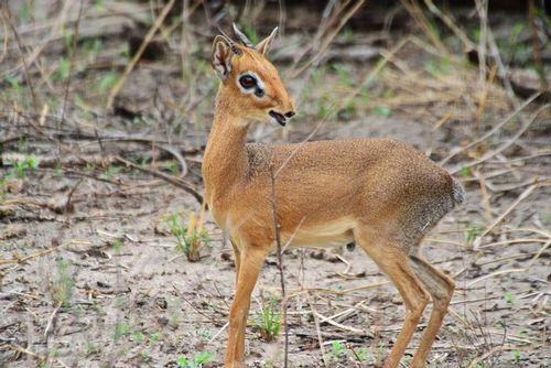 Kirks dik-dik - Madoqua kirkii - Tarengire NP Tanzania D800 149 11-20-14E.jpg