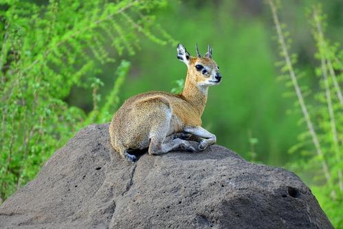 Klipspringer - Oreotragus oreotragus - Lake Manyara NP Tanzania - D800 2017-11-13-699CE.jpg