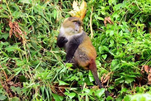 Kolbs Monkey - Cercopithecus mitis kolbi - Aberdares NP - Kenya - D800 2017-10-23-343CE.jpg