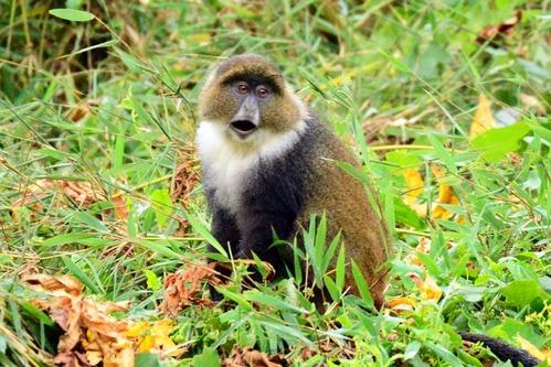 Kolbs Monkey - Cercopithecus mitis kolbi - Aberdares NP - Kenya - D800 2017-10-23-349CE.jpg