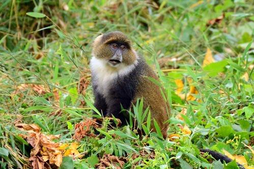 Kolbs Monkey - Cercopithecus mitis kolbi - Aberdares NP - Kenya - D800 2017-10-23-352CE.jpg