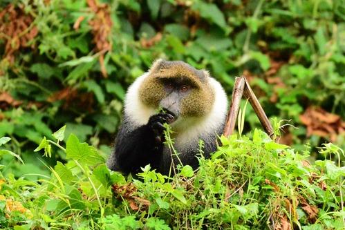 Kolbs Monkey - Cercopithecus mitis kolbi - Aberdares NP - Kenya - D800 2017-10-23-360CE.jpg