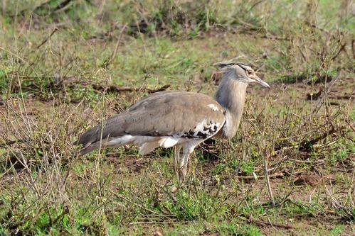 Kori Bustard - Ardeotis kori - Amboseli NP Kenya D800 2017-11-17-185CE.jpg