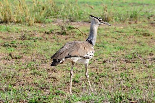 Kori Bustard - Ardeotis kori - Amboseli NP Kenya D800 2017-11-17-192CE.jpg