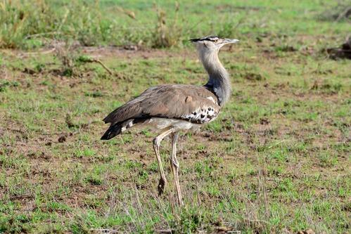 Kori Bustard - Ardeotis kori - Amboseli NP Kenya D800 2017-11-17-195CE.jpg
