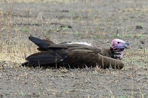 Lappet-faced Vulture - Torgos tracheliotus - Ngorongoro NP Tanzania - D800 2017-11-11-114CE.jpg