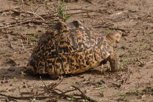 Leopard tortoise - Stigmochelys pardalis - Tarengire NP Tanzania D2X 172 11-20-14CE.jpg