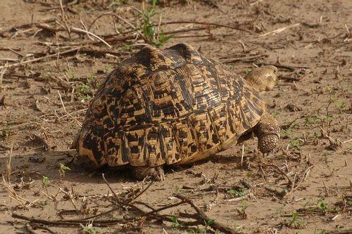 Leopard tortoise - Stigmochelys pardalis - Tarengire NP Tanzania D2X 175 11-20-14CE.jpg