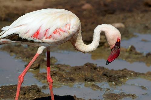 Lesser Flamingo - Phoenicopterus minor - Lake Manyara NP Tanzania - D800 2017-11-12-070CE.jpg