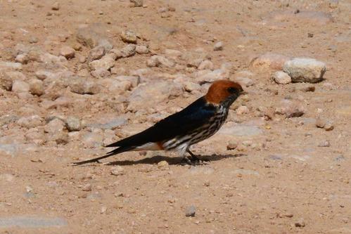 Lesser Striped Swallow - Cecropis abyssinica - Amboseli NP Kenya D800 2017-11-17-356CE.jpg