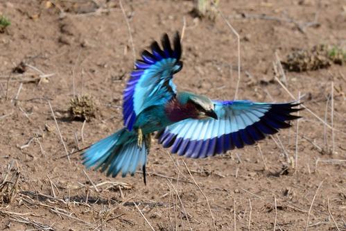 Lilac-breasted Roller - Coracias caudatus - Amboseli NP Kenya D800 2017-11-17-229CE.jpg