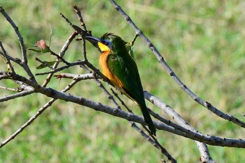 Little Bee-eater - Merops pusillus  - Pejeta Conservancy Kenya - D800 2017-10-28-622CE.jpg
