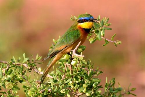 Little Bee-eater - Merops pusillus  - Samburu NP Kenya D800 2017-10-24-314CE.jpg