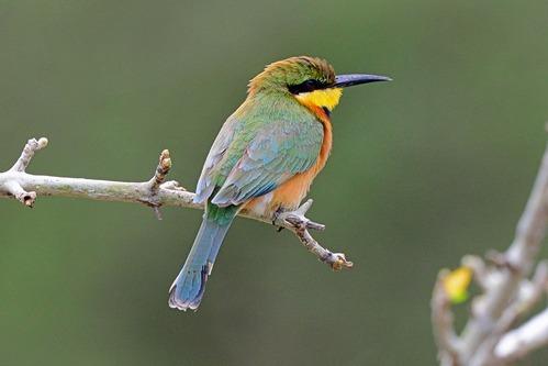 Little Bee-eater - Merops pusillus - Lake Manyara NP Tanzania - D800 2017-11-13-315CE.jpg