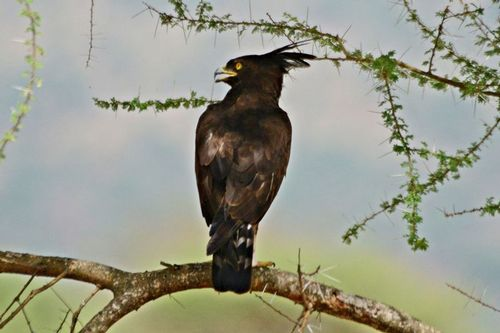 Long-crested Eagle - Lophaetus occipitalis - Tarengire NP Tanzania D800 265 11-21-14CE.jpg