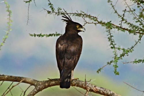 Long-crested Eagle - Lophaetus occipitalis - Tarengire NP Tanzania D800 270 11-21-14CE.jpg