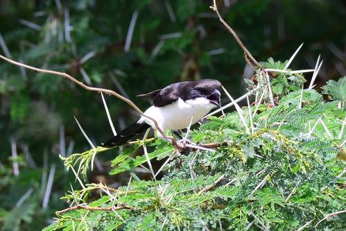 Long-tailed Fiscal Shrike - Lanius cabanisi - Amboseli NP Kenya D800 2017-11-17-690CE.jpg