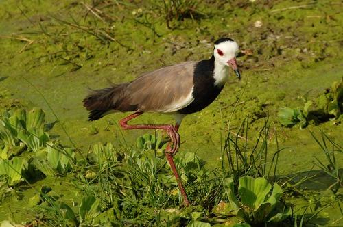 Long-toed Lapwing - Vanellus crassirostris - Amboseli NP Kenya D2X 2017-11-17-049CE.jpg