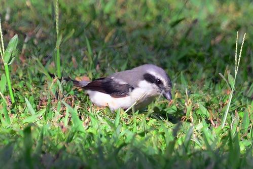 Mackinnons Shrike - Lanius mackinnoni - Kakamega NP Kenya - D800 2017-10-31-367CE.jpg