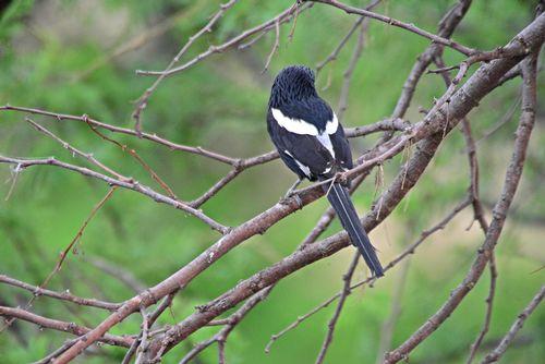 Magpie Shrike - Corvinella melanoleuca - Serengeti NP Tanzania D800 133 11-15-14E.jpg