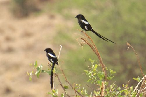 Magpie Shrike - Corvinella melanoleuca - Tarengire NP Tanzania D2X 162 11-20-14CE.jpg