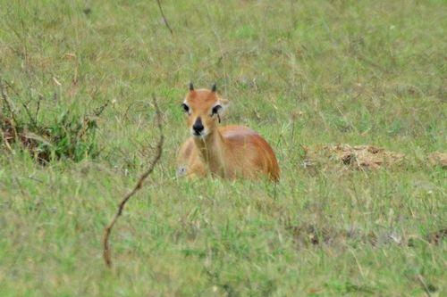 Male Oribi - Ourebia ourebi - Serengeti NP Tanzania D800 297 11-15-14CE.jpg