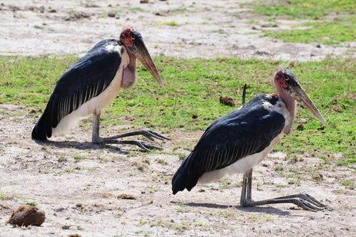 Marabou Stork - Leptopilos crumeniferus - Amboseli National Park Kenya D800 2017-11-17-516CE.jpg