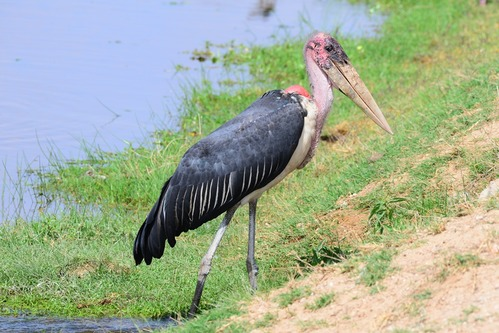 Marabou Stork - Leptopilos crumeniferus - Amboseli National Park Kenya D800 2017-11-17-517CE.jpg